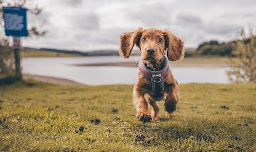 CockerSpaniel Puppy Running