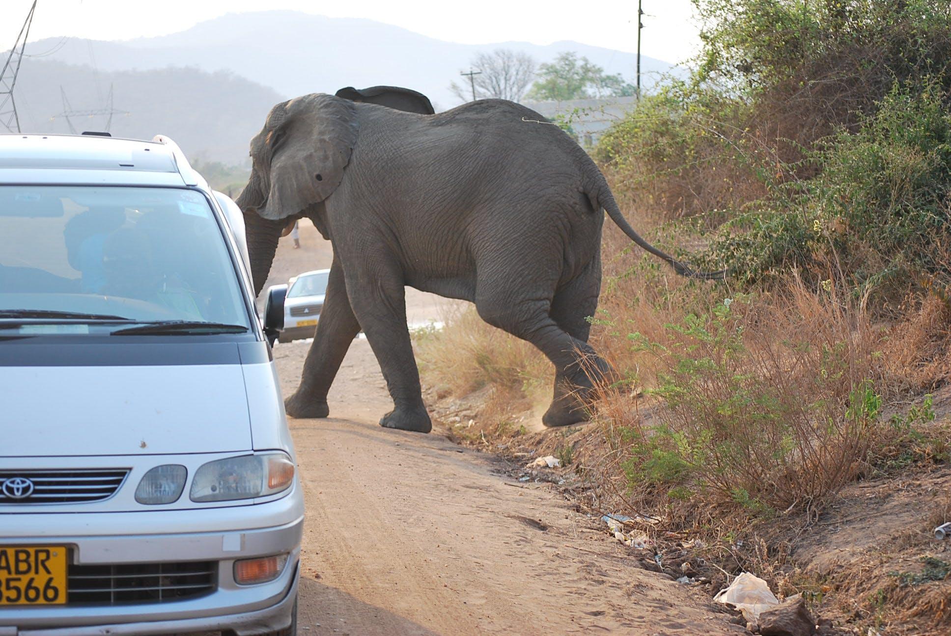 Gratis lagerfoto af elefanten tager en tur
