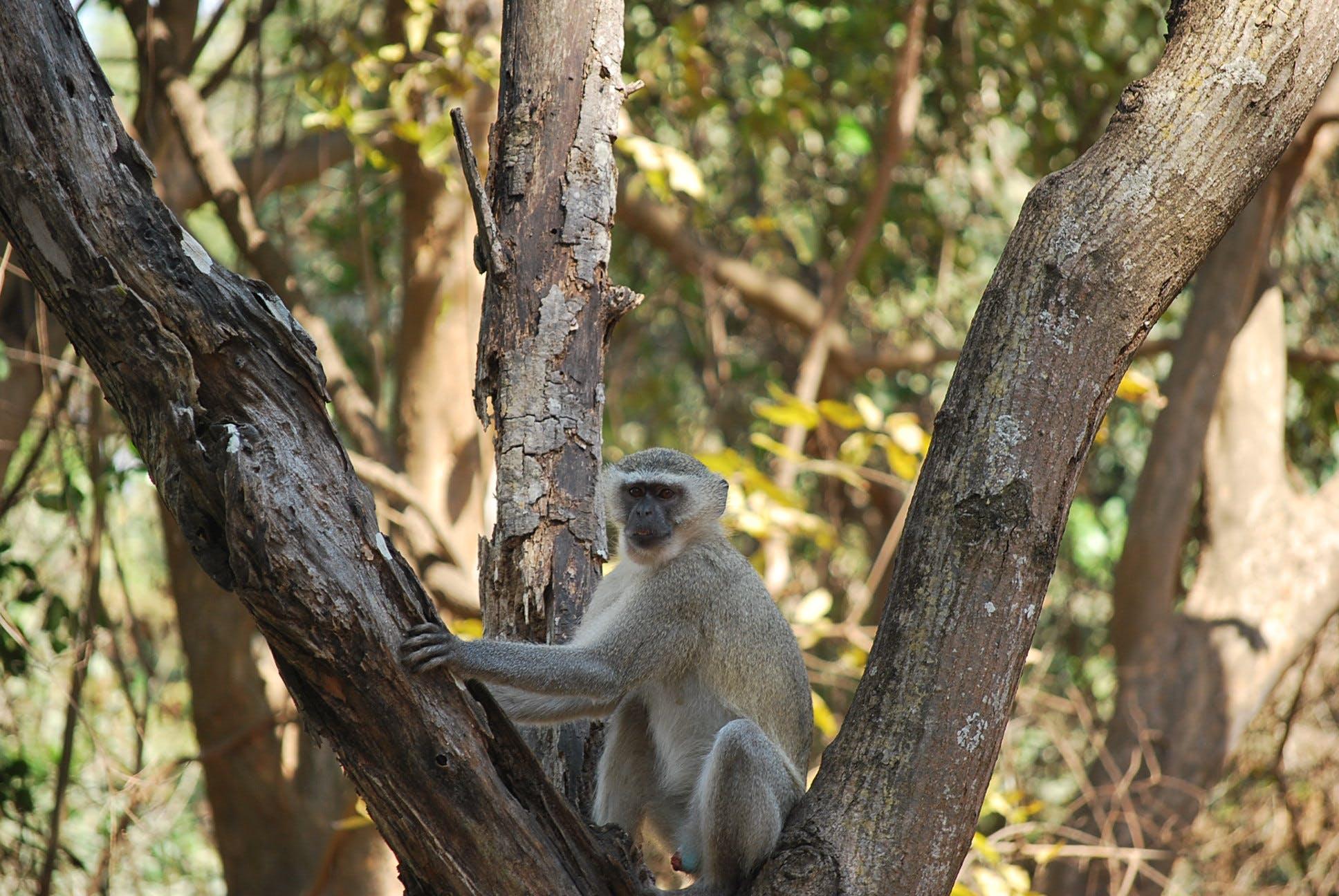 Gratis lagerfoto af monkey i et træ