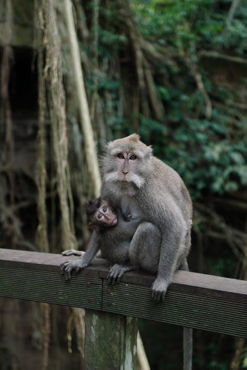 Macaque Sitting on Wooden Plank