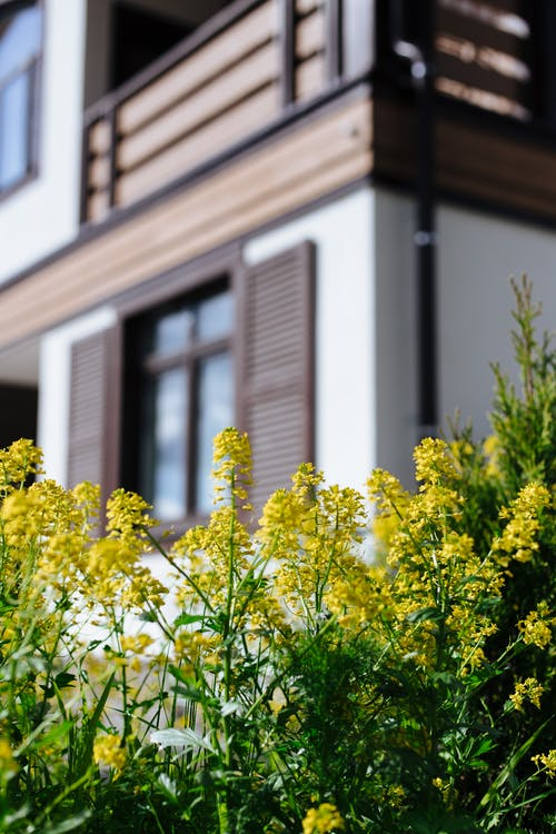 Yellow Flowers in Front of White and Brown House