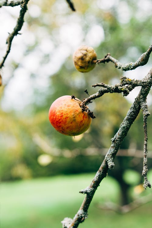 Darmowe zdjęcie z galerii z apple, belka, bio