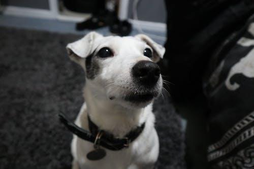 Darmowe zdjęcie z galerii z mały pies, pies, uroczy