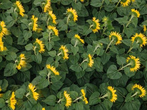 Foto profissional grátis de agricultura, amarelo dourado, área