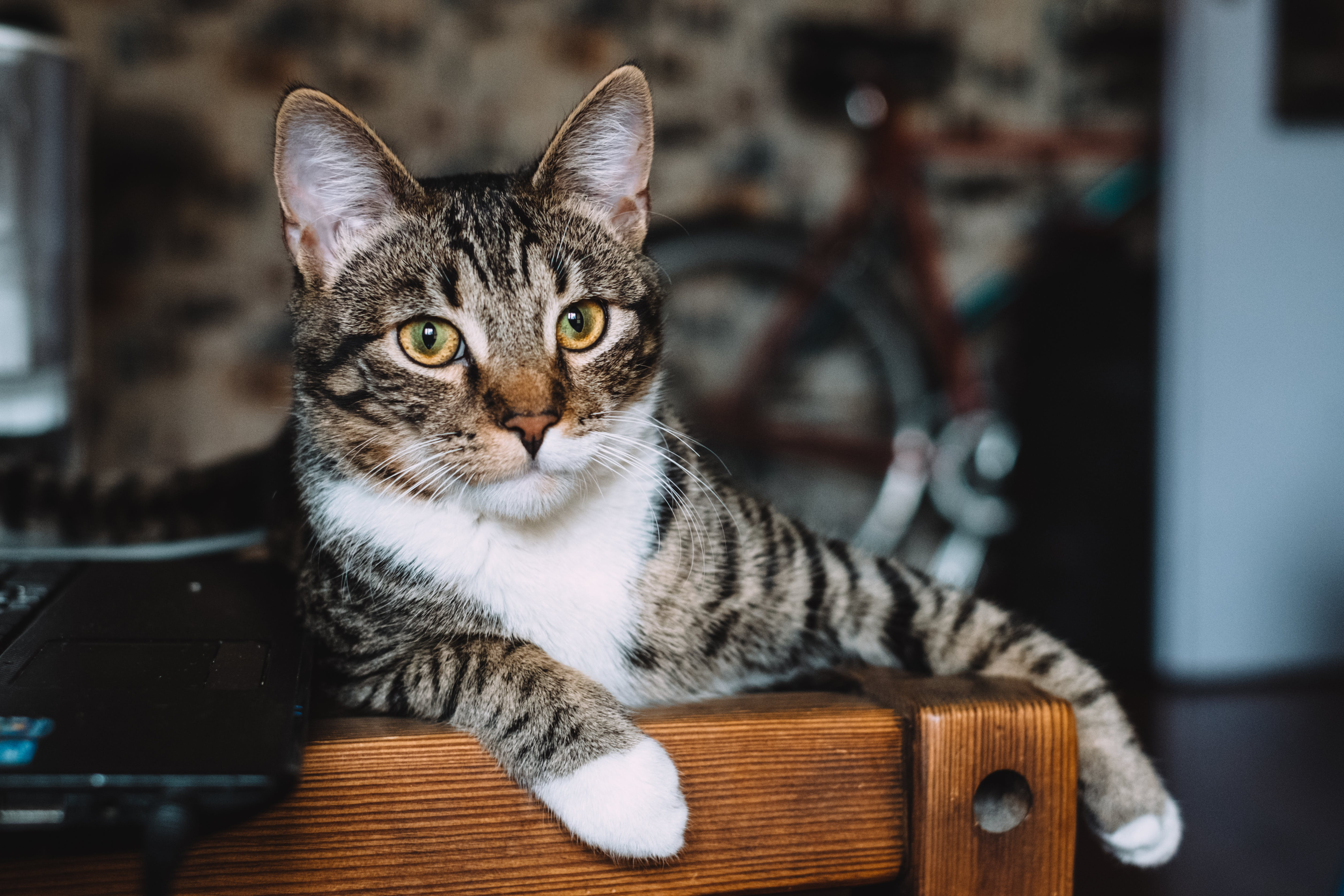 Silver Tabby Cat Lying on Brown Wooden Bench
