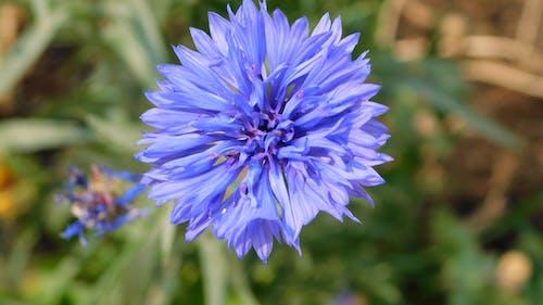 Free stock photo of blue cornflower