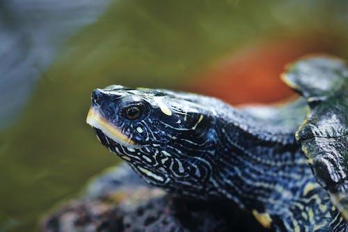 Free stock photo of reptile, turtle, water animal