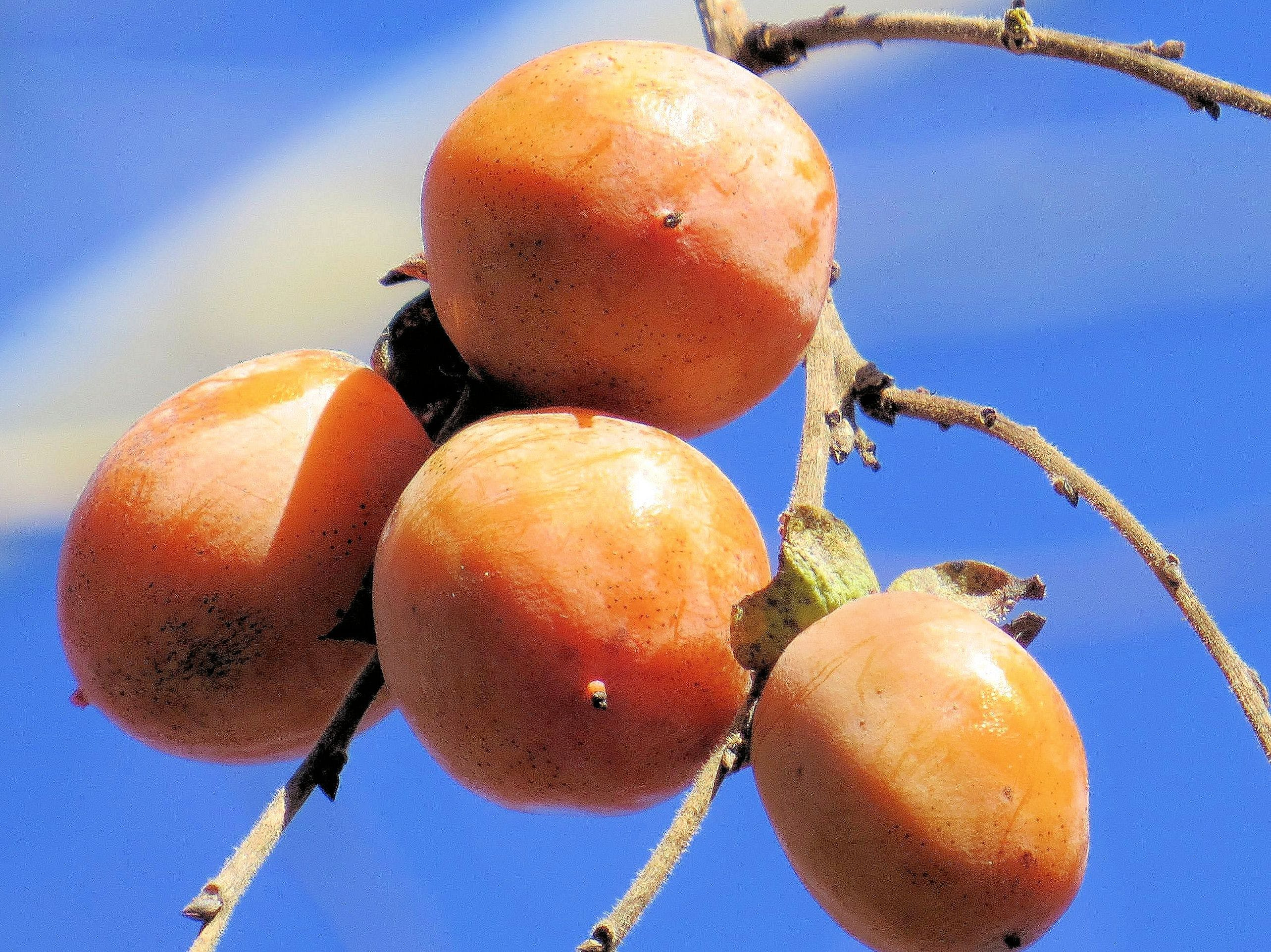 Free stock photo of missouri, ozarks, persimmons