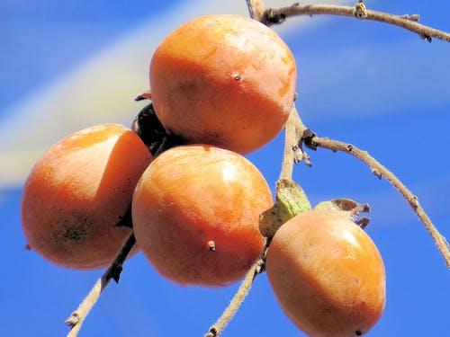 奧沙克, 密蘇里州, 柿子 的 免費圖庫相片