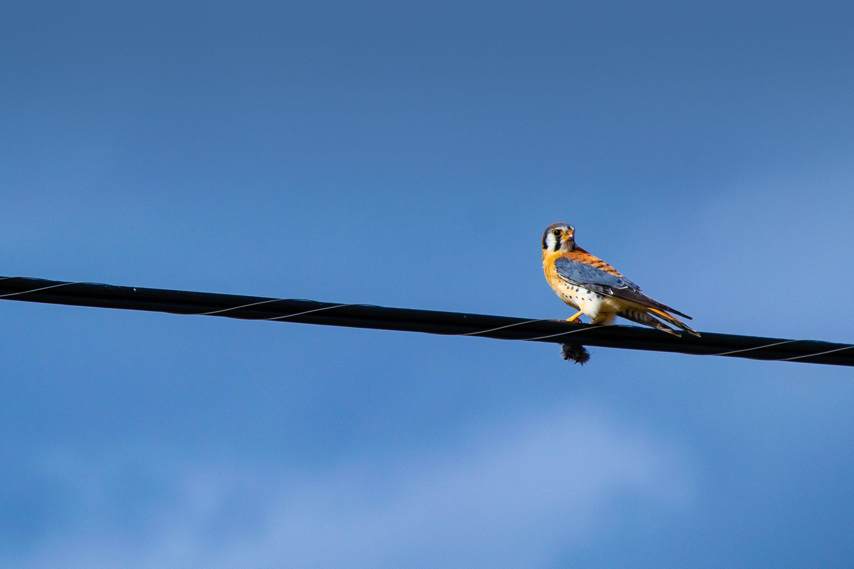 Blue and Orange Bird on Cord