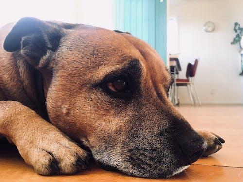 Foto stok gratis anak anjing, anjing, Berbaring, commons kreatif