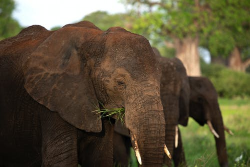 Free stock photo of african elephant, agriculture, air