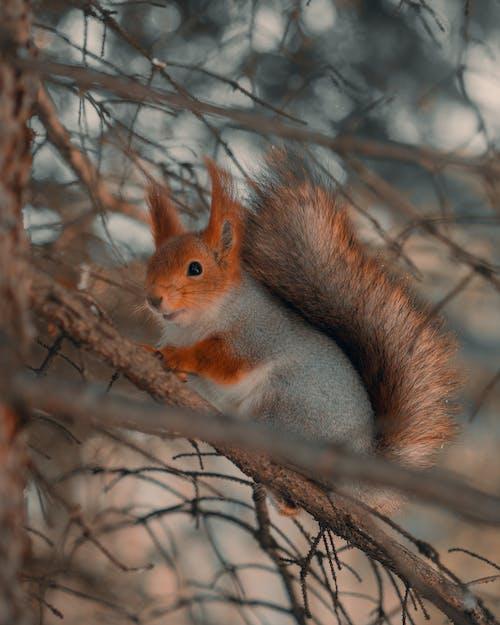 Fluffy Squirrel on Tree Branch in Winter