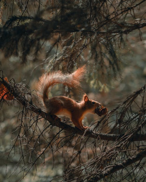 Red Squirrel on Tree in Autumn Forest