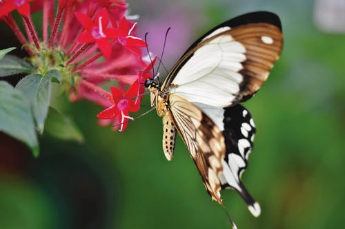 Brown and Black Butterfly on Red Flower