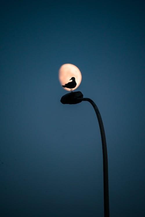 Bird Perching on Street Light Against Moon