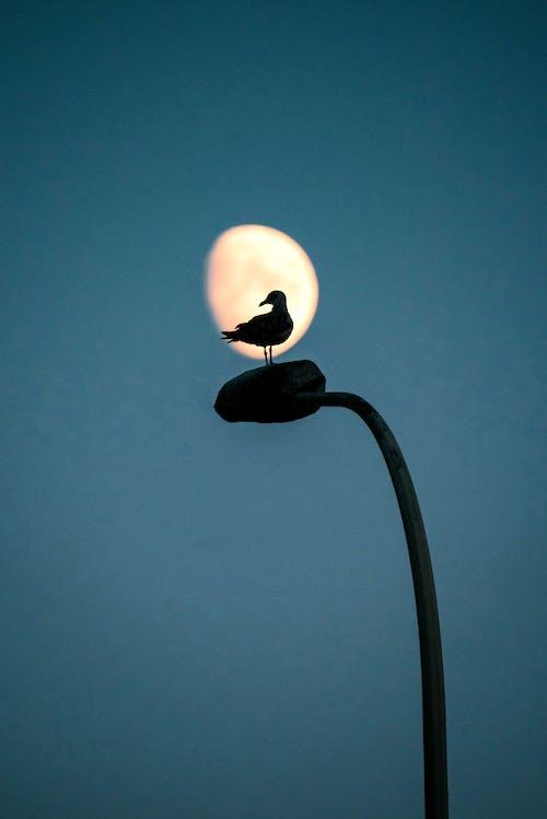Silhouette of Bird on Street Light Against Moon