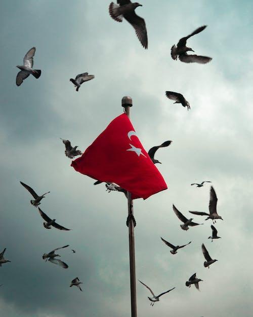 Flock of Birds Flying Around Turkish Flag on Mast