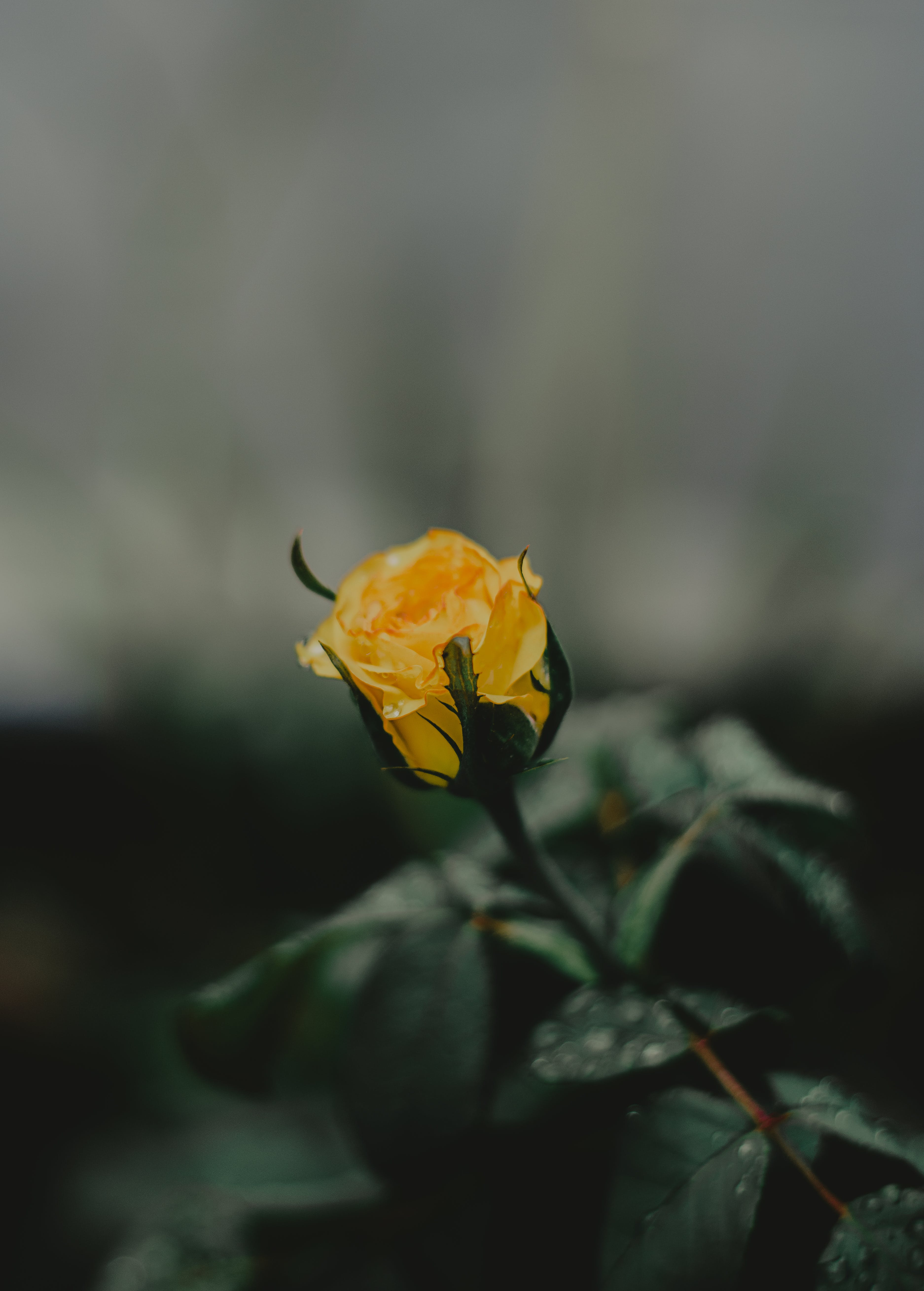 Selective Focus Photography Of Yellow Rose