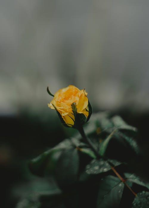 DOF, フローラ, ローズ, 咲くの無料の写真素材
