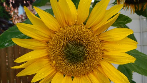 Free stock photo of sunflower bloom