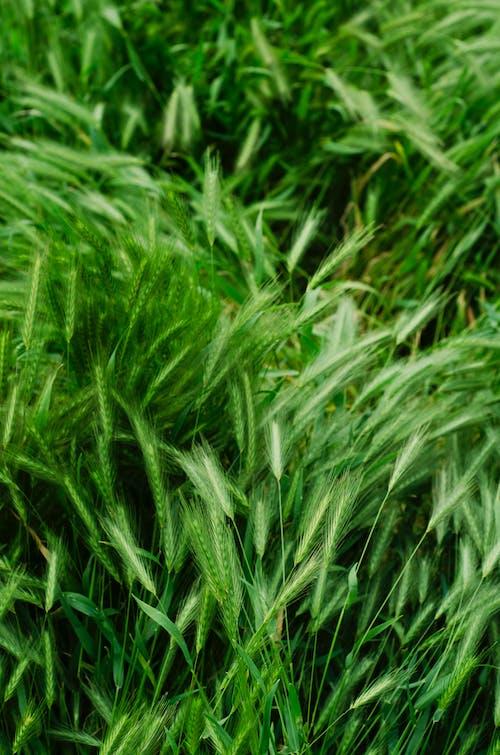 Fotobanka sbezplatnými fotkami na tému exteriéry, klas pšenice, poľnohospodárstvo