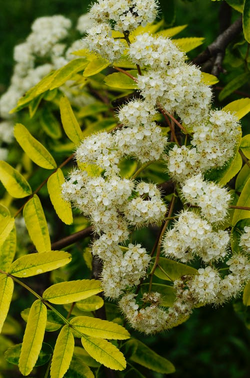 Close-up of White Flowers and Green Leaves
