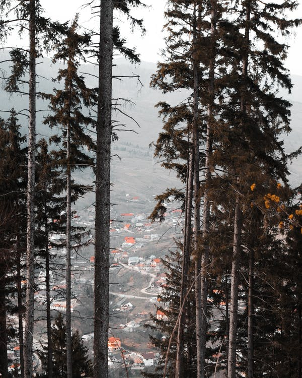 frossen, frost, fyrretræ