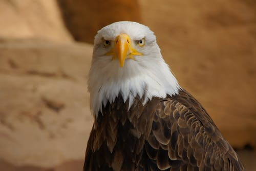 Eagle looking at camera