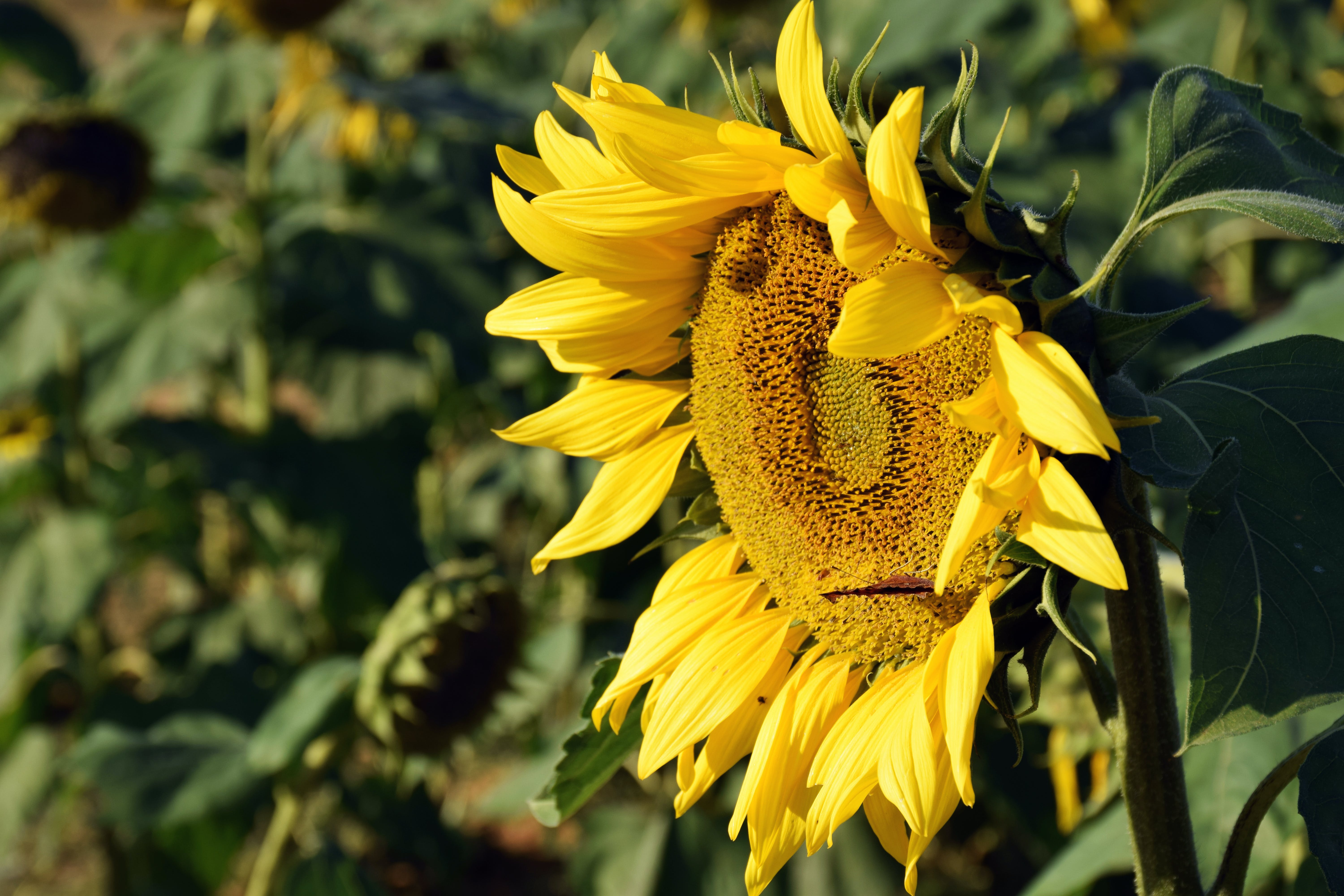 Selective Color of Sunflower
