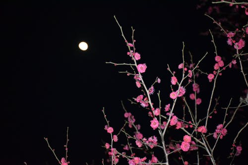 Free stock photo of blossom, flower, moon, night