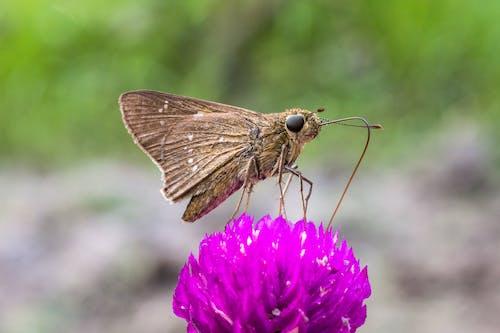 Brown Moth on Purple Flower