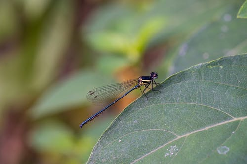 Black Damselfly Perched on Green Leaf in Close Up Photography