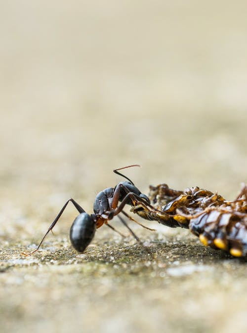 Black and Brown Ant on Brown Surface