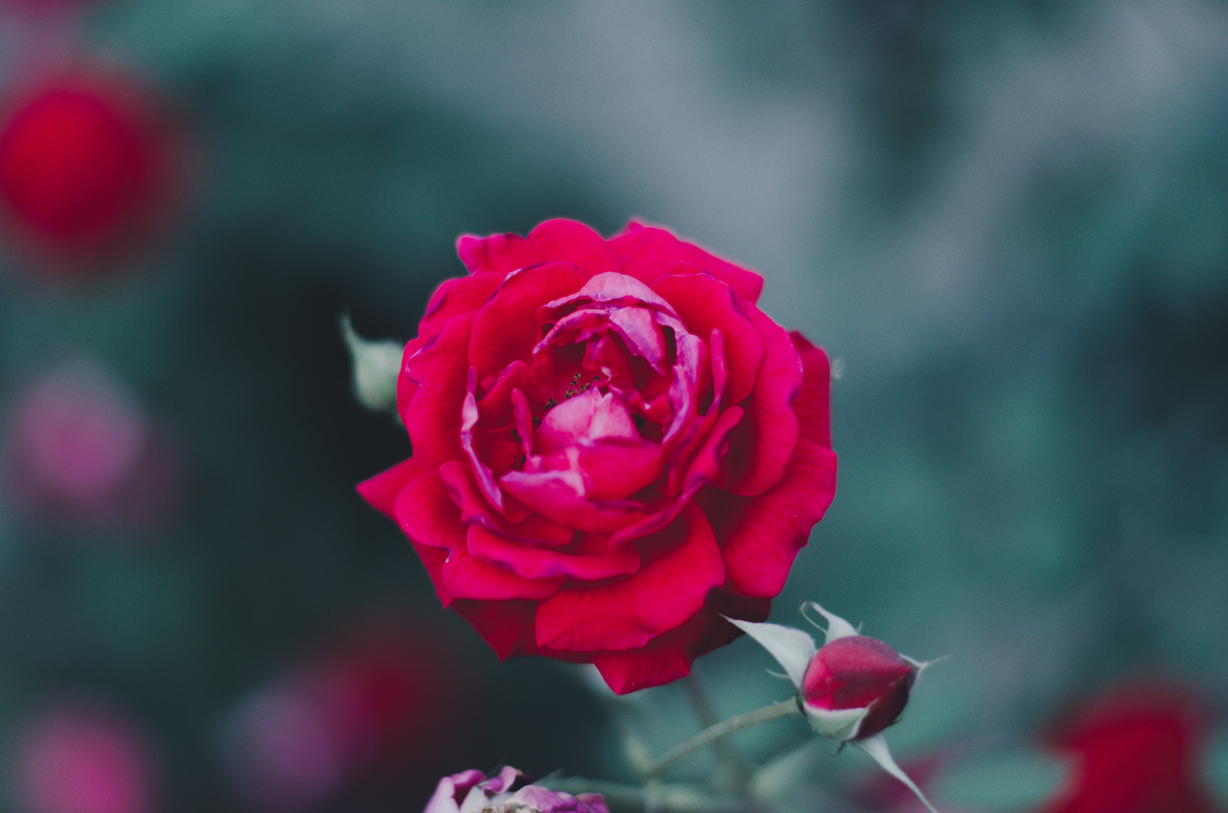 Free stock photo of Red Rose, rose