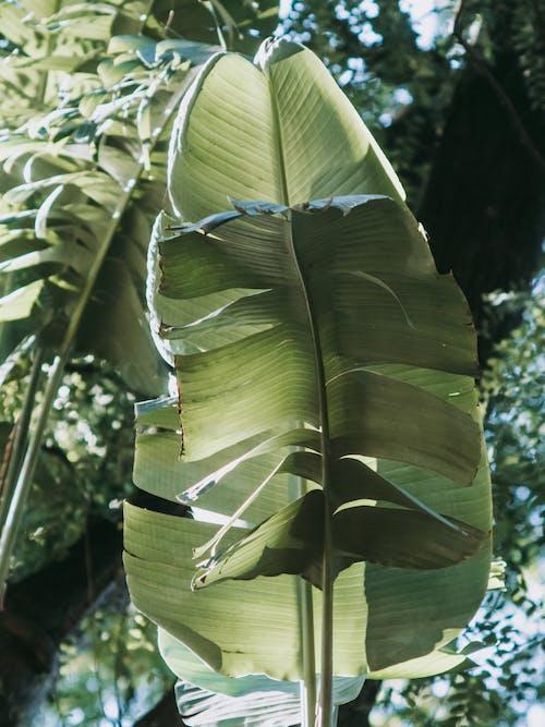 Banana Leaf From Below