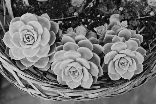 echeveria, 나뭇잎, 다육의 무료 스톡 사진