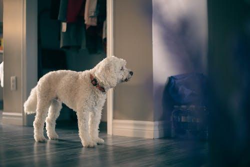 Immagine gratuita di animale domestico, cane bianco, casa