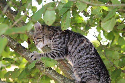 คลังภาพถ่ายฟรี ของ ลูกแมว, แมว, แมวในต้นไม้