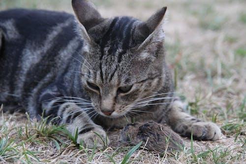 คลังภาพถ่ายฟรี ของ นักล่า, ผู้ล่า, หนู, แมว