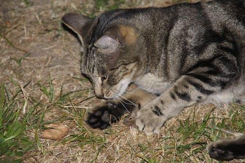 คลังภาพถ่ายฟรี ของ นอน, อุ้งเท้า, แมว