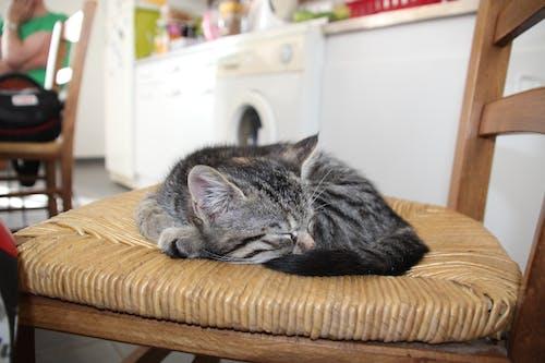 คลังภาพถ่ายฟรี ของ ขด, ลูกแมว, แมว, แมวนั่ง