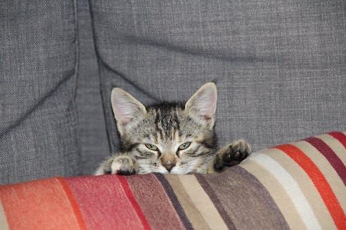 คลังภาพถ่ายฟรี ของ ซ่อนแมว, ดวงตาที่ชั่วร้าย, นักล่า, ลูกแมว