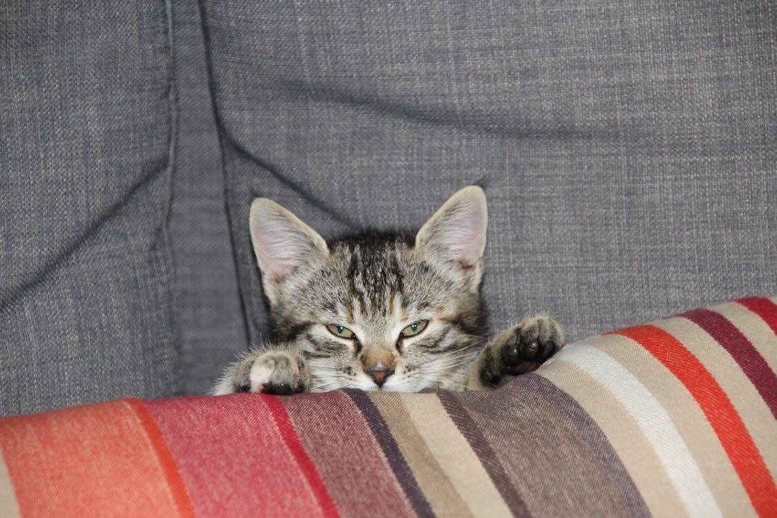anak kucing, hewan pemangsa, kucing