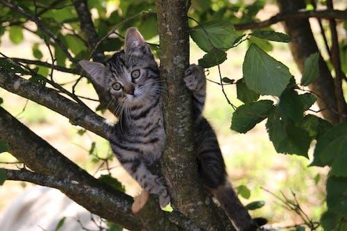 คลังภาพถ่ายฟรี ของ ยึดมั่นใน, ลูกแมว, แมว, แมวในต้นไม้