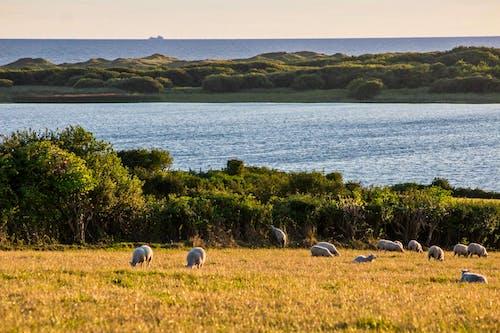 Foto d'estoc gratuïta de Gal·les, kenfig, ovella, reserva natural