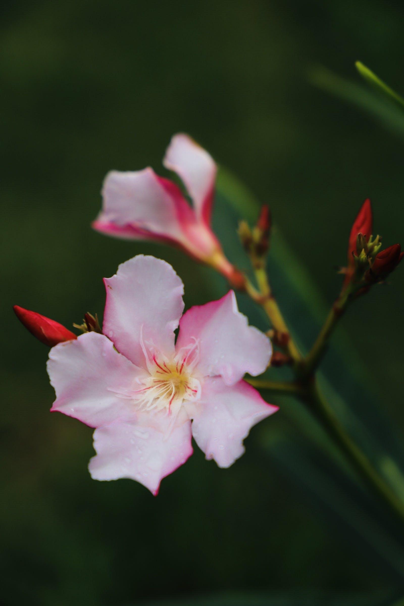Gratis lagerfoto af lyserøde blomster