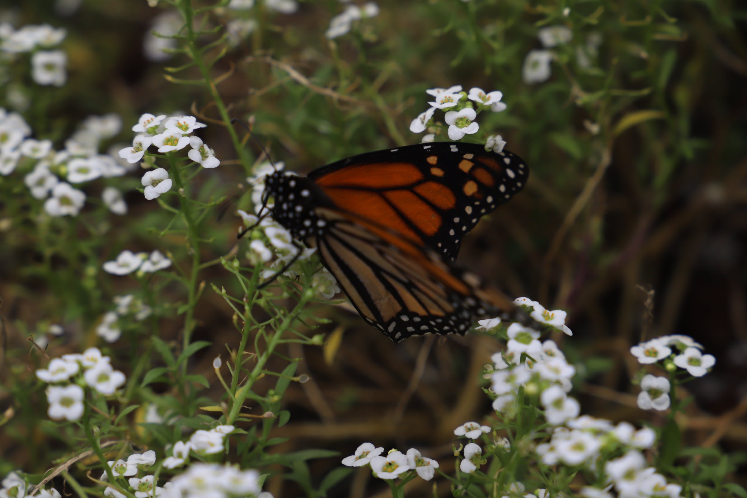 Gratis lagerfoto af Monarksommerfugl