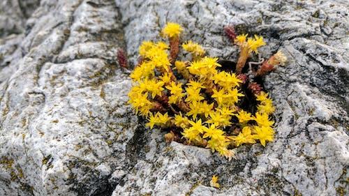 노란 꽃, 노란색 꽃, 이끼 낀 바위의 무료 스톡 사진
