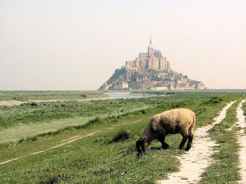 Fotos de stock gratuitas de Francia, mont saint-michel, normandía, oveja